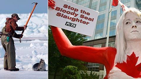 Kanada lässt fast 470.000 Robben abschlachten