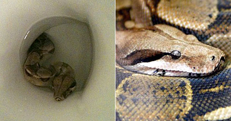 D: Mädchen auf WC von Schlange überrascht (Bild: AFP, AP)