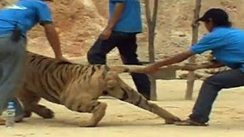 Tierquälerei im Tigertempel? (Bild: YouTube.com)