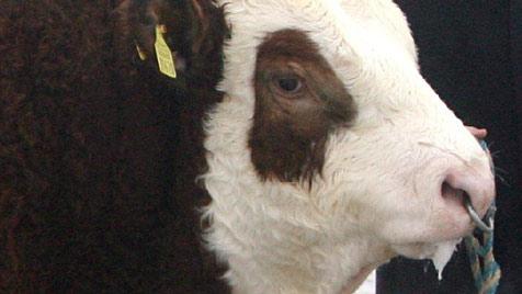 Von entlaufenem Stier durch die Luft geschleudert (Bild: dpa/A2514 Frank Mächler)