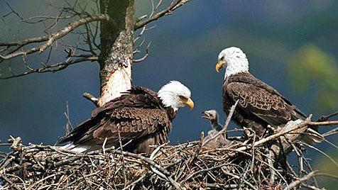 Weißkopf-Seeadler-Familie ist Internetstar in USA