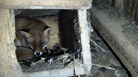 Füchse gefangen und gequält: Anzeige für Jäger (Bild: Vier Pfoten)
