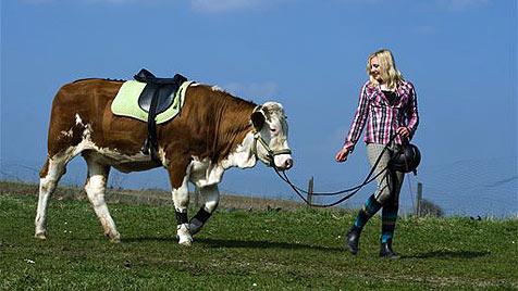 Zugerittene Kuh Luna wird zum internationalen Star (Bild: AP)