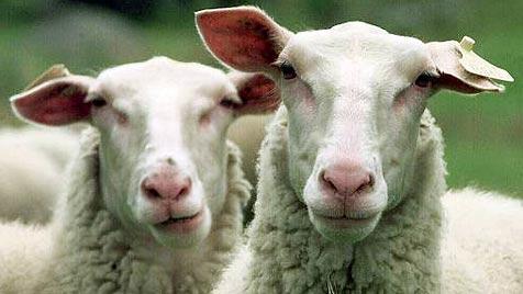 Orangefarbene Schafe in Dartmoor schrecken Diebe ab (Bild: AP)