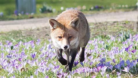 F: Behörden wollen Familie zahmen Fuchs wegnehmen (Bild: dpa/Frank Rumpenhorst)
