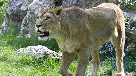 "Löwin im Salzburger Zoo bekommt den Namen ""Nala"" (Bild: Markus Tschepp)"
