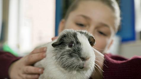 Meerschweinchen in der Schule haben positive Wirkung (Bild: thinkstockphotos.de)