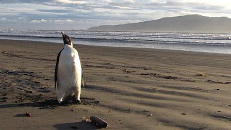 Pinguin schwimmt 3.000 Kilometer nach Neuseeland (Bild: EPA)
