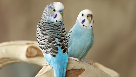 Urlaubsbetreuung für Ziervögel am besten zuhause (Bild: thinkstockphotos.de)