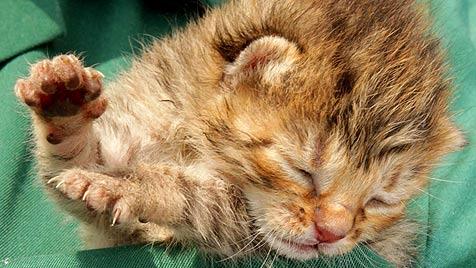 Tierärztin in OÖ soll regelmäßig Katzen-Babys einschläfern (Bild: Jürgen Radspieler)