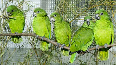 45 Papageien aus Schmuggel-Eiern sind wohlauf (Bild: TIERGARTEN SCHÖNBRUNN/DANIEL ZUPANC)