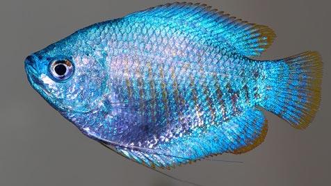 Fadenfische flirten mit ihren Bauchflossen (Bild: André Karwath)