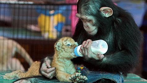 Affe bemuttert in thailändischem Zoo Tiger-Baby (Bild: EPA)