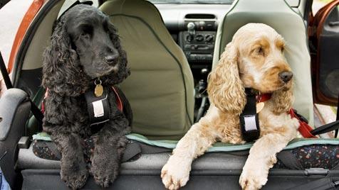 Haustiere sicher im Auto transportieren (Bild: thinkstockphotos.de)