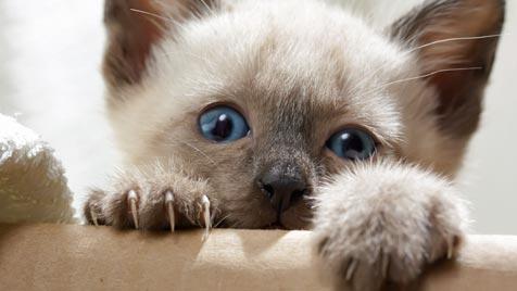 Die unglaublichsten Rekorde aus der Welt der Katzen (Bild: thinkstockphotos.de)