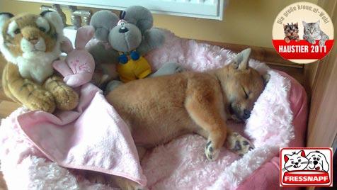"""Akira"" ist das süßeste Hundebaby (Bild: Marion Miglik)"