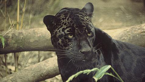 Schwarzer Panther macht derzeit die Toskana unsicher (Bild: Wikipedia/U.S. Fish and Wildlife Service)