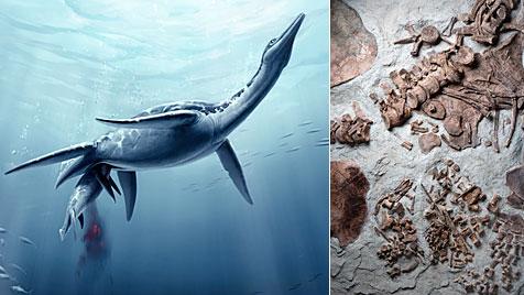 Plesiosaurier brachten lebendige Junge zur Welt Meeressaurier_brachten_einzelne_Junge_zur_Welt-Foetus_gefunden-Story-284147_476x268px_1_WhjoWUGl88Ybo