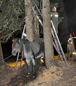 NÖ: Norikerstute steckte zwischen zwei Fichten fest (Bild: Feuerwehr Waidhofen an der Ybbs)