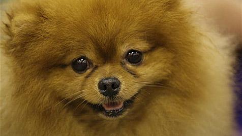 Hund in den USA frisst Diamanten um 10.000 Dollar (Bild: AP)