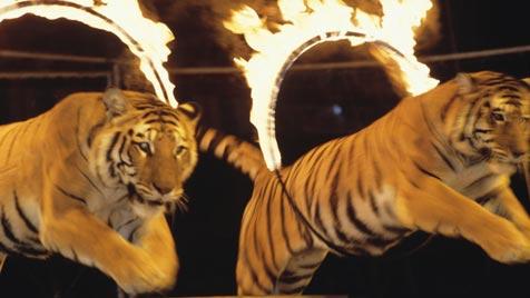 Tierquälerei im Zirkus führt zu schweren Unfällen (Bild: thinkstockphotos.de)