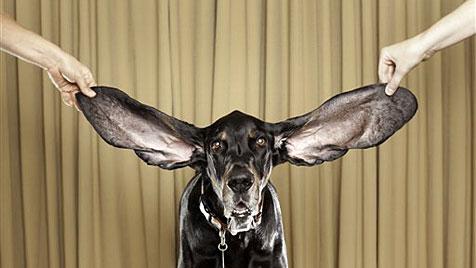"""""""Harbor"""" hat die längsten Hunde-Ohren der Welt (Bild: AP)"""