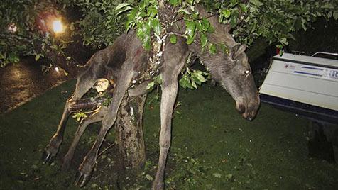 Betrunkener Elch hing im Geäst eines Baumes fest (Bild: AP)