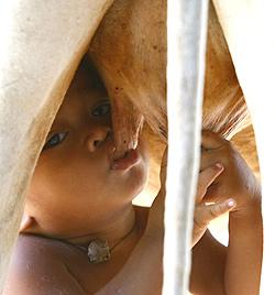 Kleiner Bub in Kambodscha trinkt direkt aus Kuheuter (Bild: AP)