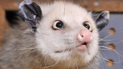 """Opossum """"Heidi"""" an Altersschwäche gestorben (Bild: dpa-Zentralbild/Hendrik Schmidt)"""
