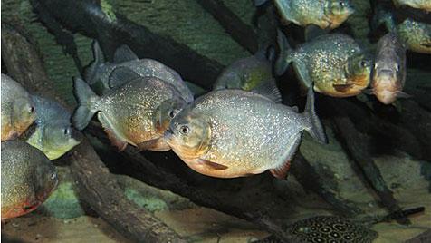 5-Jährige fischt tropischen Piranha aus See in Texas (Bild: AP)