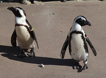 Tierpark in Toronto trennt verliebte Pinguinmännchen (Bild: AP)
