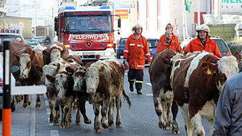 Sbg: Polizei-Eskorte für elf ausgebüxte Kühe und Kälber (Bild: Andreas Kreuzhuber)