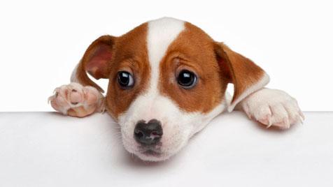 Verpflichtende Kennzeichnung für Hunde in Europa (Bild: Photos.com/Getty Images)