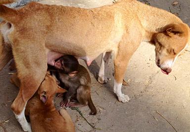 Hunde-Mama in Bangladesch säugt ein Affen-Baby (Bild: AFP)