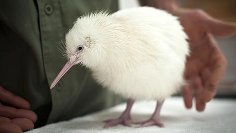 Seltener weißer Kiwi in Neuseeland geschlüpft (Bild: EPA)