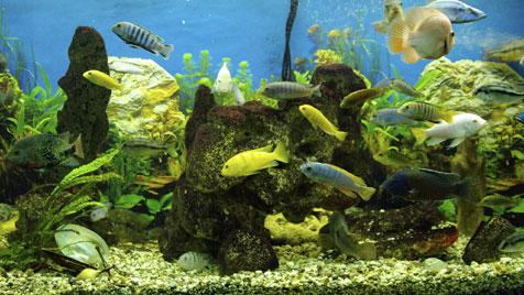 Wer ist der Boss im Aquarienschwarm? (Bild: thinkstockphotos.de)