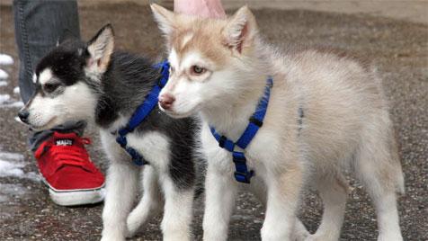 Schlittenhunde aus grausamer Haltung gerettet (Bild: Werner Kerschbaummayr)