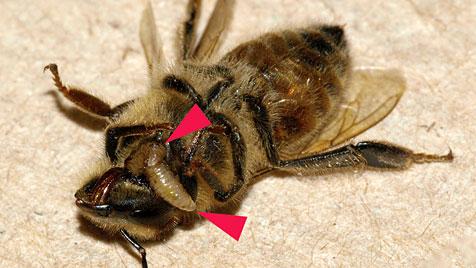 mŕtva včela s larvou muchy
