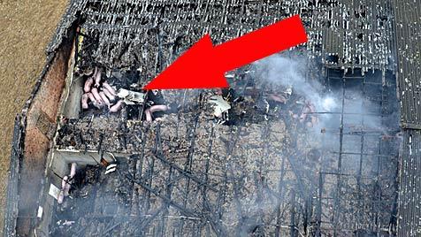 Hunderte Schweine aus brennendem Stall in OÖ gerettet (Bild: APA/BFKDO SCHÄRDING)