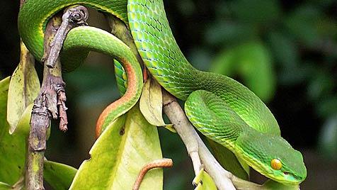 Bei Brand entdeckte Schlangen haben neues Zuhause (Bild: W. A. Djatmiko)