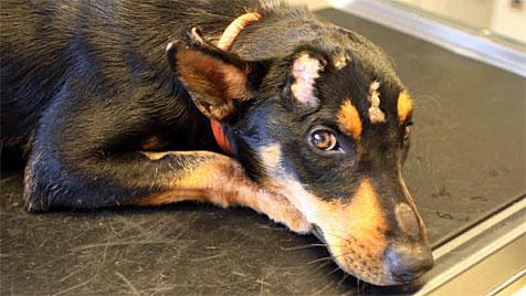 Fundhund aus Kärnten wurde eingeschläfert (Bild: Ute Rojsek-Wiedergut)