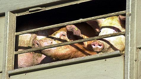 EU-Kommissar will Tiertransporte verbessern (Bild: DAPD/Roland Magunia)