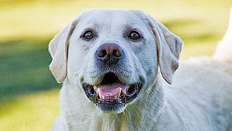 Labrador-Mischling soll sein Frauchen erstickt haben (Bild: Photos.com/Getty Images)