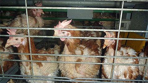 So leiden Hühner auch in der EU in Mastanstalten (Bild: Kronen Zeitung)