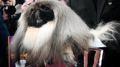 Dieser Pekinese ist der schönste Hund der USA (Bild: dapd/Seth Wenig)