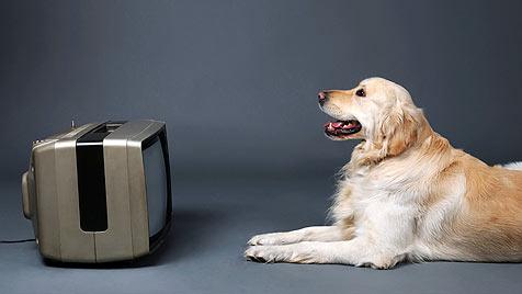 Erster Fernsehsender nur für Hunde ist da (Bild: thinkstockphotos.de)