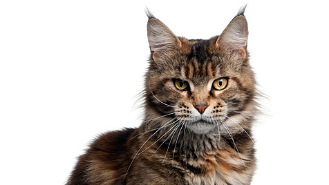 Steirischer Richter soll Katze an  Wand genagelt haben (Bild: thinkstockphotos.de)