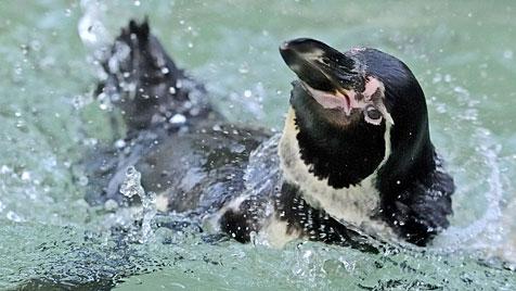 Entlaufener Pinguin hält Tierpfleger in Tokio in Atem (Bild: APA/dpa/Ronald Wittek)