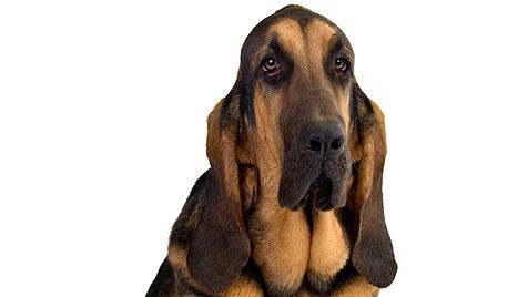 Briten spendieren ihrem Bluthund ein Ganzkörper-Lifting (Bild: thinkstockphotos.de)