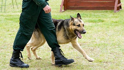 Das leisten die Polizeidiensthunde in Österreich (Bild: thinkstockphotos.de)
